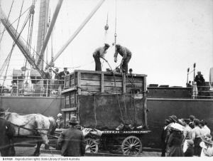 Delivering a crated animal at Port Adelaide [B 61924] • Photograph,about 1910. State Library of South Australia, Ref. B 61924.