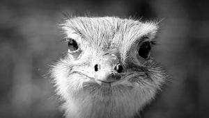 Nandu, rhea bird