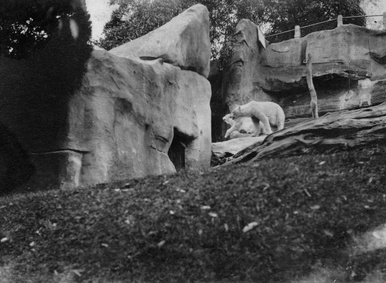 Polar Bears Taronga Park Zoo Sydney 1925