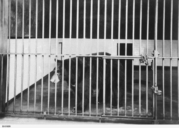 A bear in a cage at the Adelaide Zoological Gardens, ca. 1915, © State Library of South Australia [B 61609]