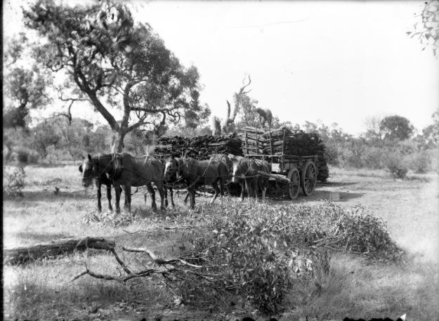 Hauling loads of mallet bark near Kojonup, 1906 (?), State Library of Western Australia, Ref: BA2824/34