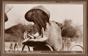 Hippo 1921, Royal Melbourne Zoo