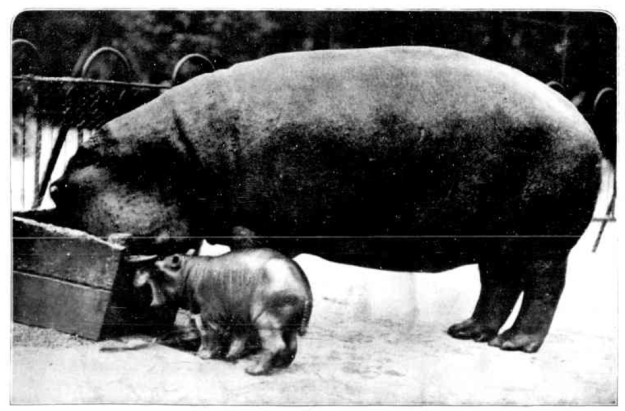 Melbourne Zoological Gardens - Baby Hippopotamus and mother