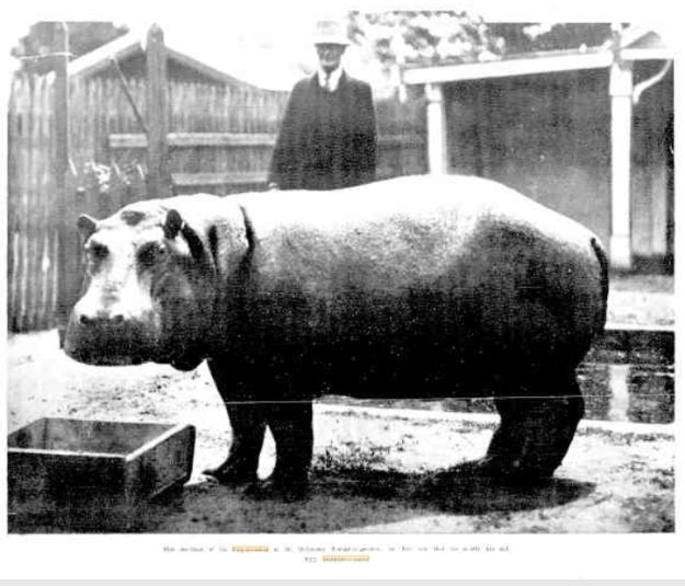 Rosamund - First hippopotamus in Melbourne Zoological Gardens
