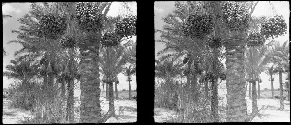 Date palms Basra 19144