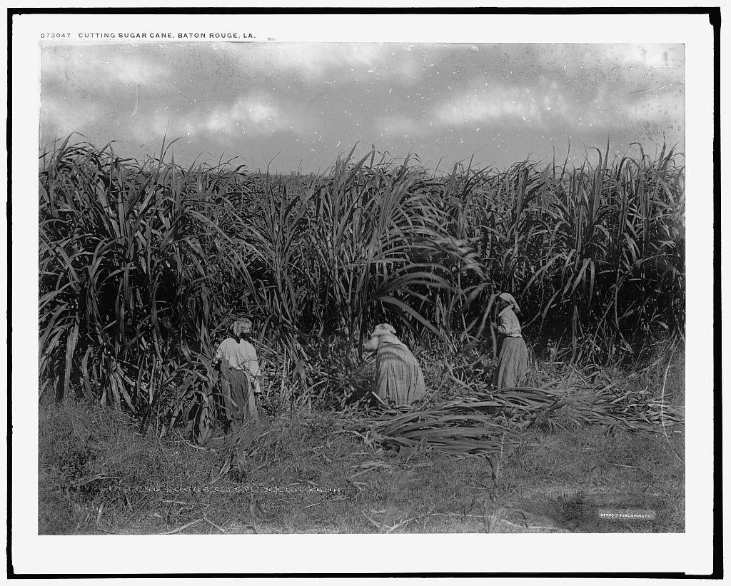 Zuckerrohrernte um 1910